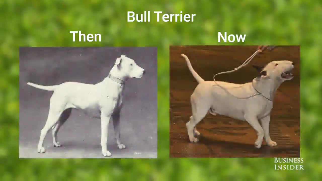 dogs then and now. join list: Learning (1082 subs)Mention History. Bull Terrier Then BUSINESS INSIDER. god bless the back breeders out there. These pour dogs do not deserve these problems.