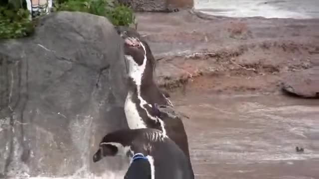 Grape-kun screaming for his Waifu. I was told that this was a male penguin's way of showing attraction. A mating dance as you may call I don't really know thoug