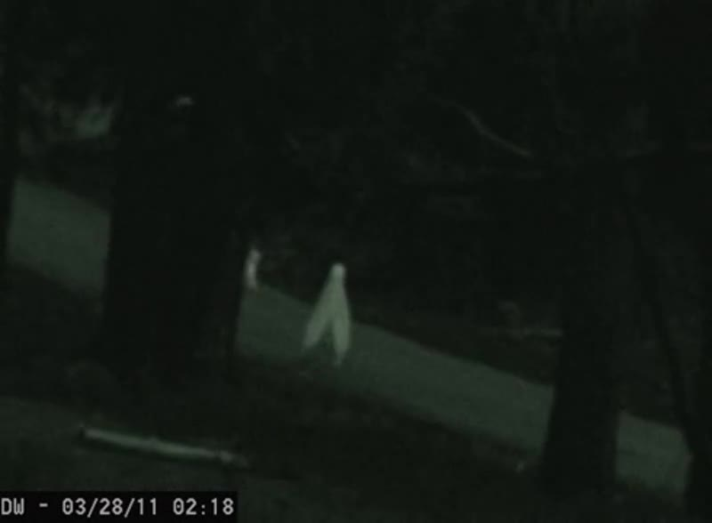 """Gondola spotted!. Turns out he's not actually European. He lives in the Fresno area where he's known as the """"Fresno Nightcrawler"""". Native Americans cl"""