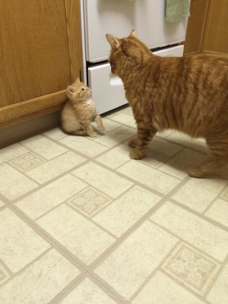 Adopted Kitten Meets Current Cat. .