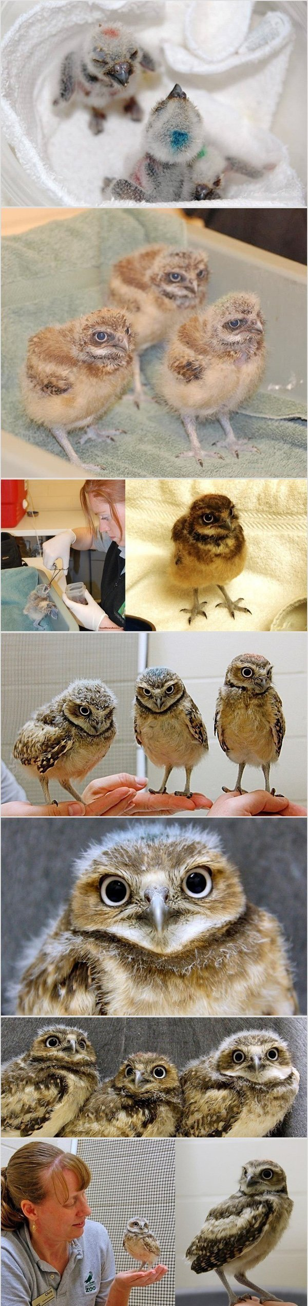 adopted owl babies. .. roll random number