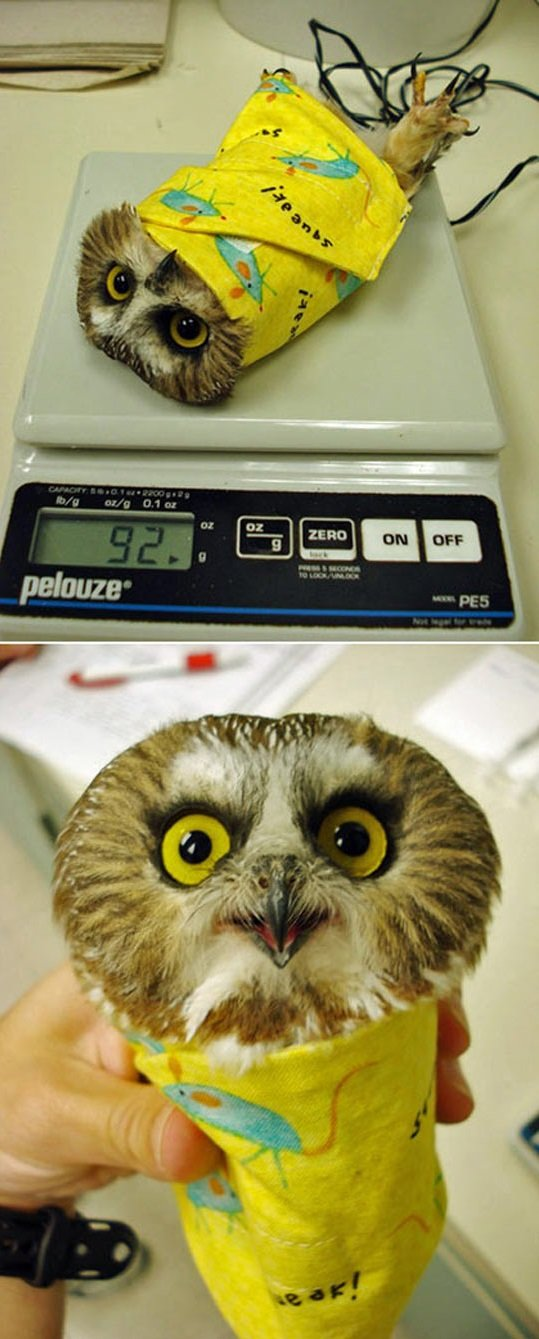 adorable burrito. .. I love owls