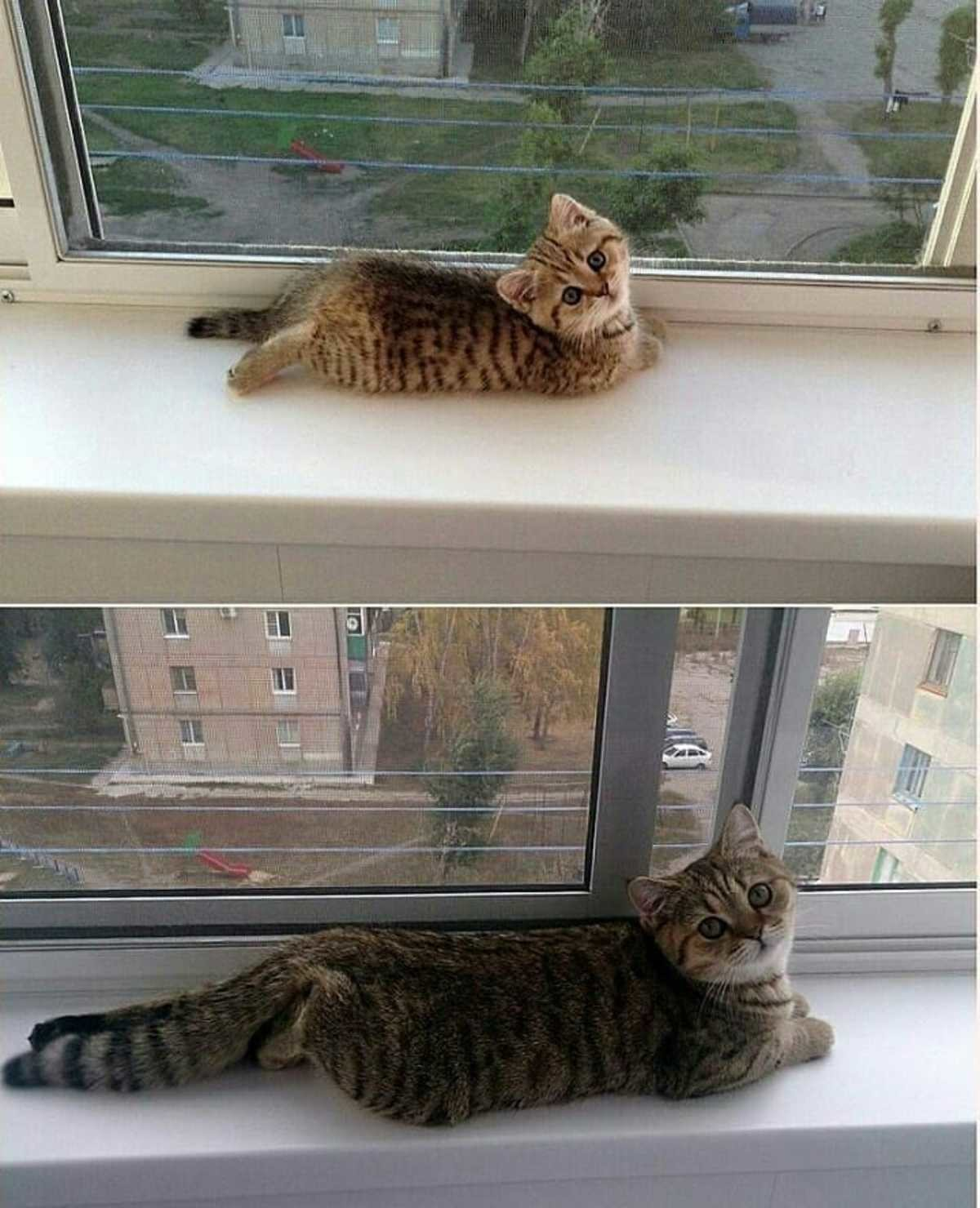 """""""..and now i'm a big kitty!"""". join list: DoseOfCuteness (565 subs)Mention Clicks: 67692Msgs Sent: 810149Mention History.. I hope my new siamese kitten is as adorable when she grows up as she is now."""
