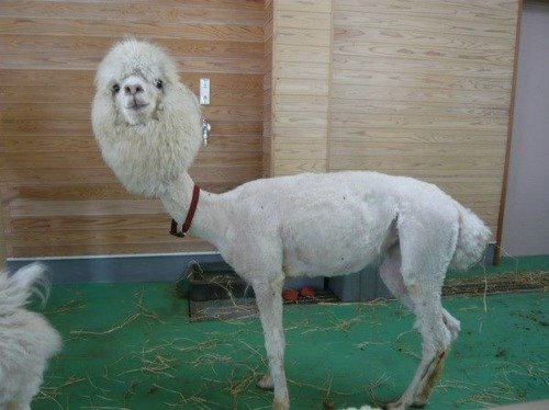 Are you feeling sad?. Well if you're ever feeling down, here's a picture of a shaved llama... Noooooooooooooooooooooooooooooooooooo