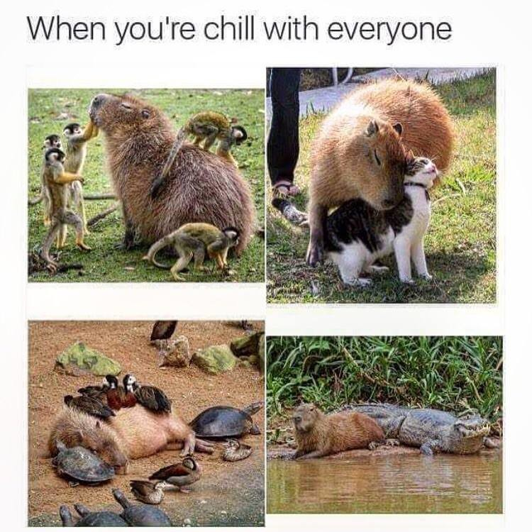 capybara. . you' re chill with everyone. So cute