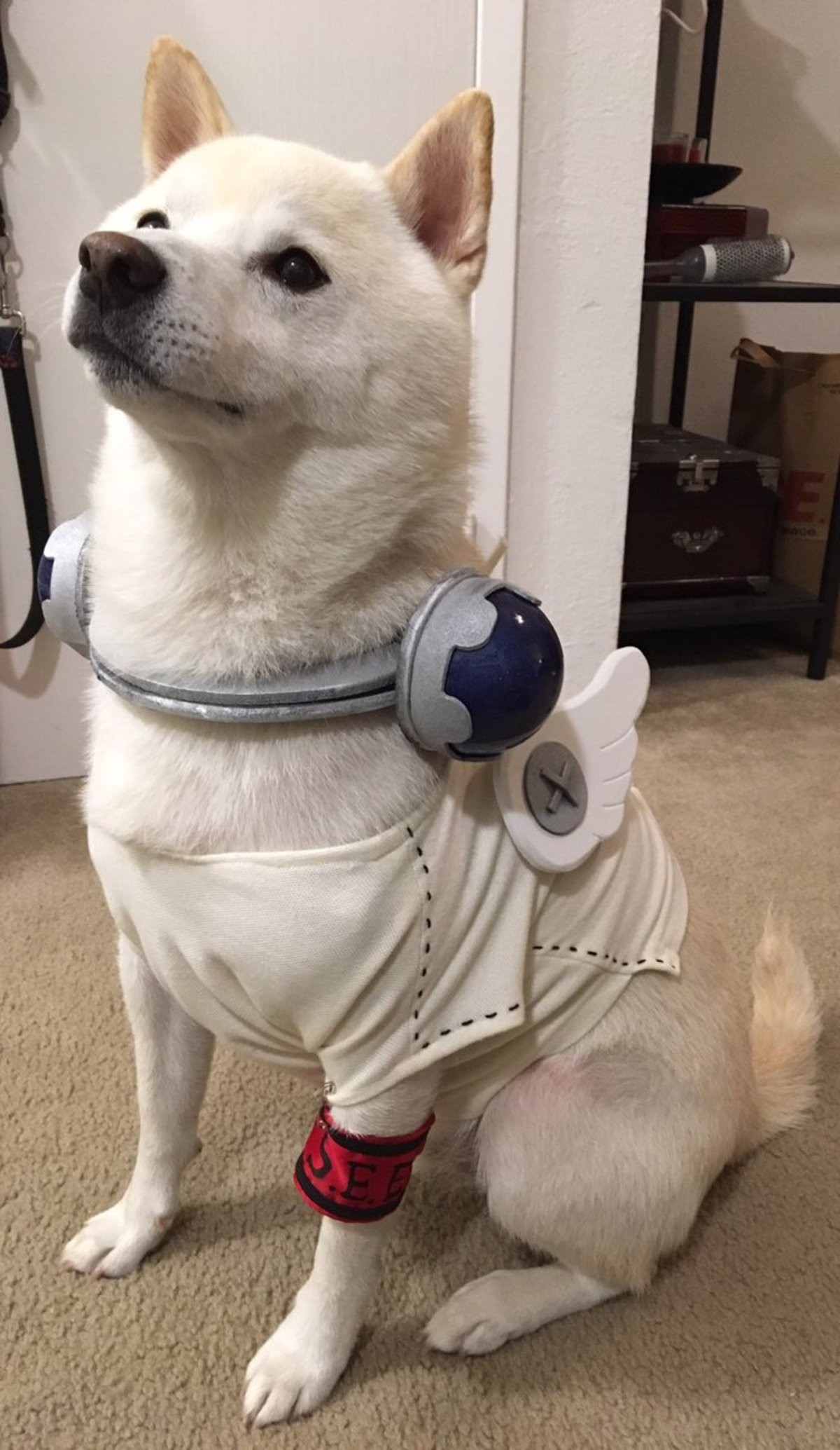 Cosplay Doggo. Source: https://www.twitter.com/HezaChandotcom/status/791082031035785216 Dog is cosplaying Koromaru from Persona 3 join list: Harmlesslycute (383