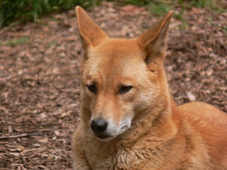 Dog or Dingo?. Is it a dog? Or is it a dingo! THE WORLD DECIDES!!!.. Its a dog, i have 1........... P.S. try to make it funny next time. -.-'