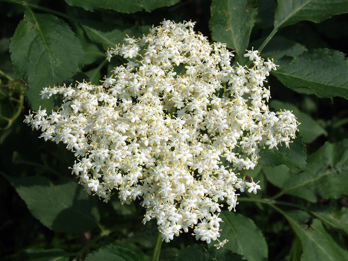 elderflowerschnaps. so it took many many time and now i am feeling like making this post i start everything by making a sirup as a base reason is, it lasts long