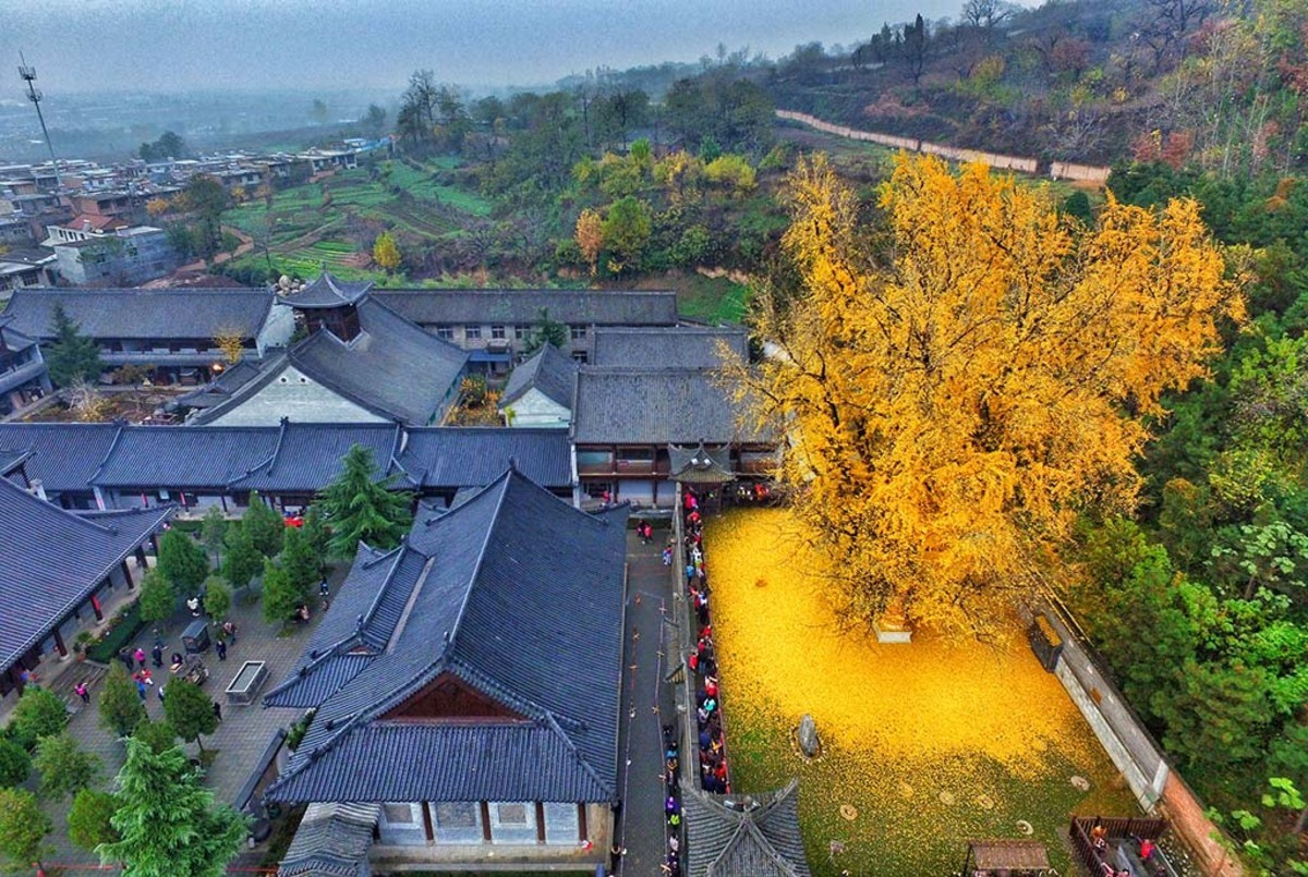 Every Autumn, A 1,400 Year Old Chinese Gingko Tree Rains Gold. .. Ahhh the Cheeto dust tree