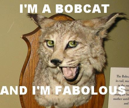 fabulous bobcat. hes a bobcat and he's fabulous.. oh you silly you, have a thumb daahling