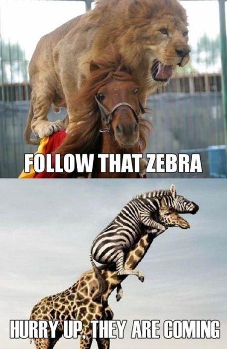 follow that zebra. .. RUN!
