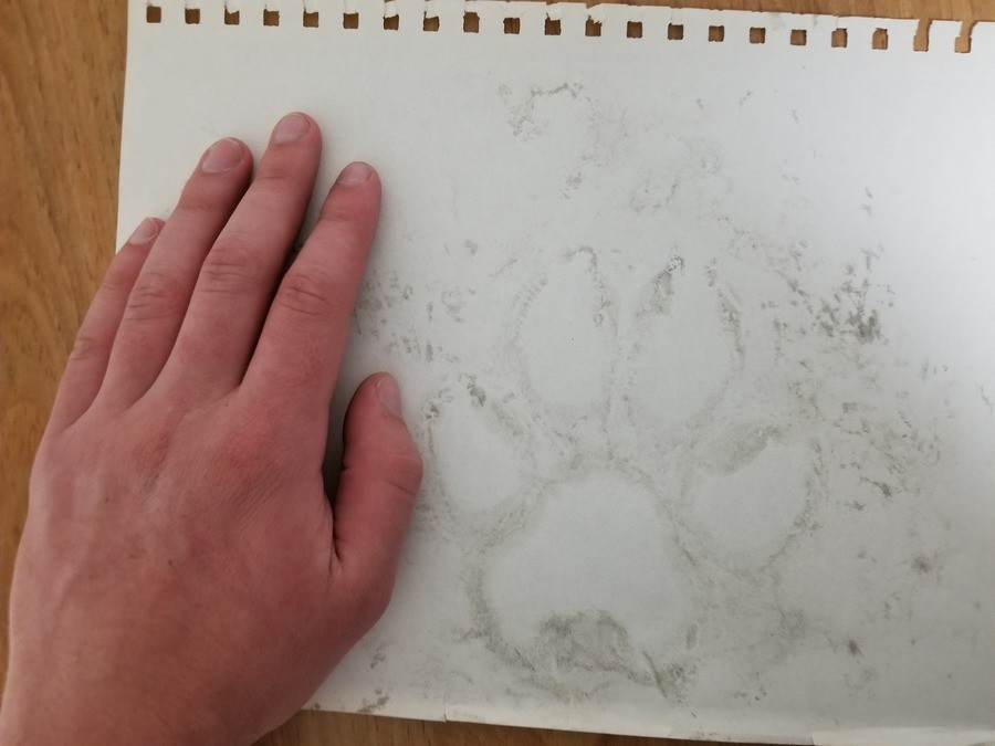 forgot i did this last year and found it in my book. its a mud imprint of a great gray wolf I worked for an hunting outfit and saw them everyday but i had no ph