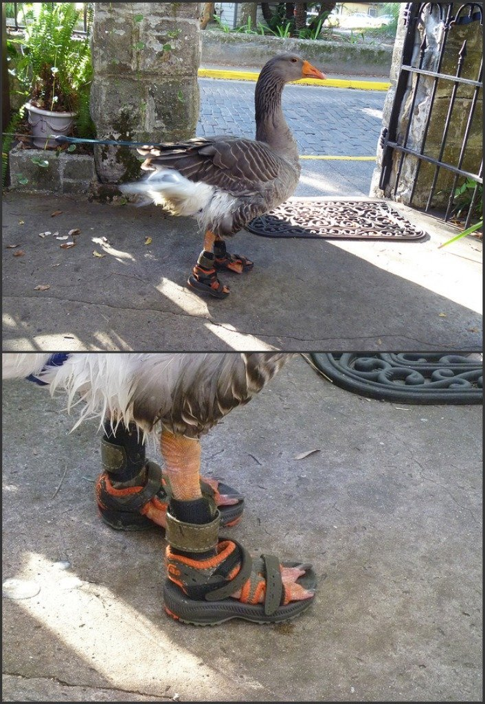 Goose in sandals.... incredibleoddities.com is back bitches, you can expect updates tomorrow... At least its not wearing any socks!