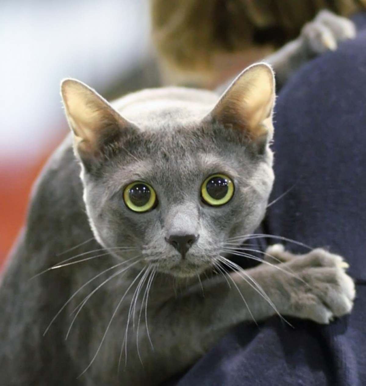 kitty spotlight: korat. The earliest known record for the Korat comes from the Cat-Book of Poems, or the Smud Khoi of Cats, produced some time during the Ayudhy