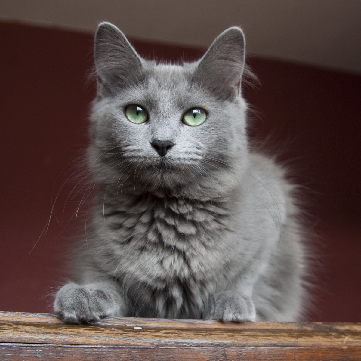 kitty spotlight: nebelung. Nebelung can be translated to German, Nebel meaning ('mist' or 'fog'), and the name of a medieval Germanic saga, Nibelungenlied. Thes