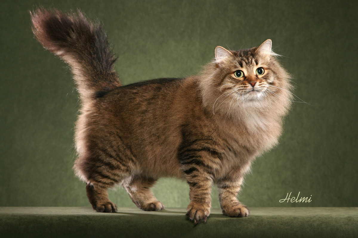 kitty spotlight: siberian. Easily one of the largest cat breeds, Siberian males range between 17 and 26 pounds and the females range between 13 and 17 pounds. V