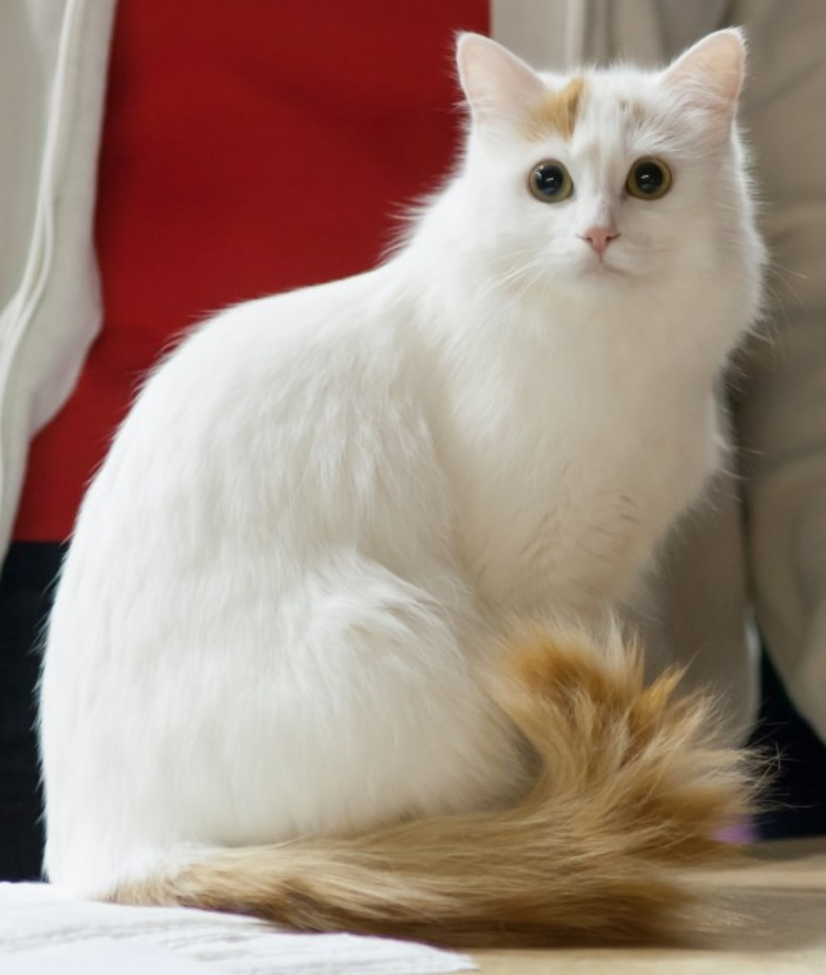 kitty spotlight: turkish van. A rare breed, distinguished by its pattern, 'Van', which is where the tail and head are the only parts that have color. Even thoug