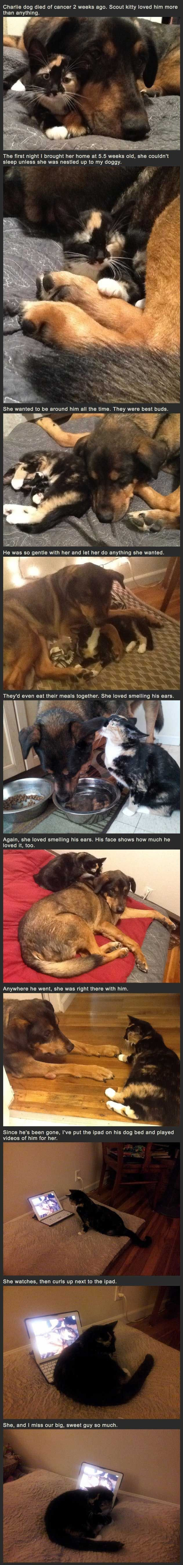 Never forgotten. . Charlie dog died of cancer 2 weeks ago. Scout kitty loved him more than anything. The first night I brought her home at 5. 5 weeks old, she c