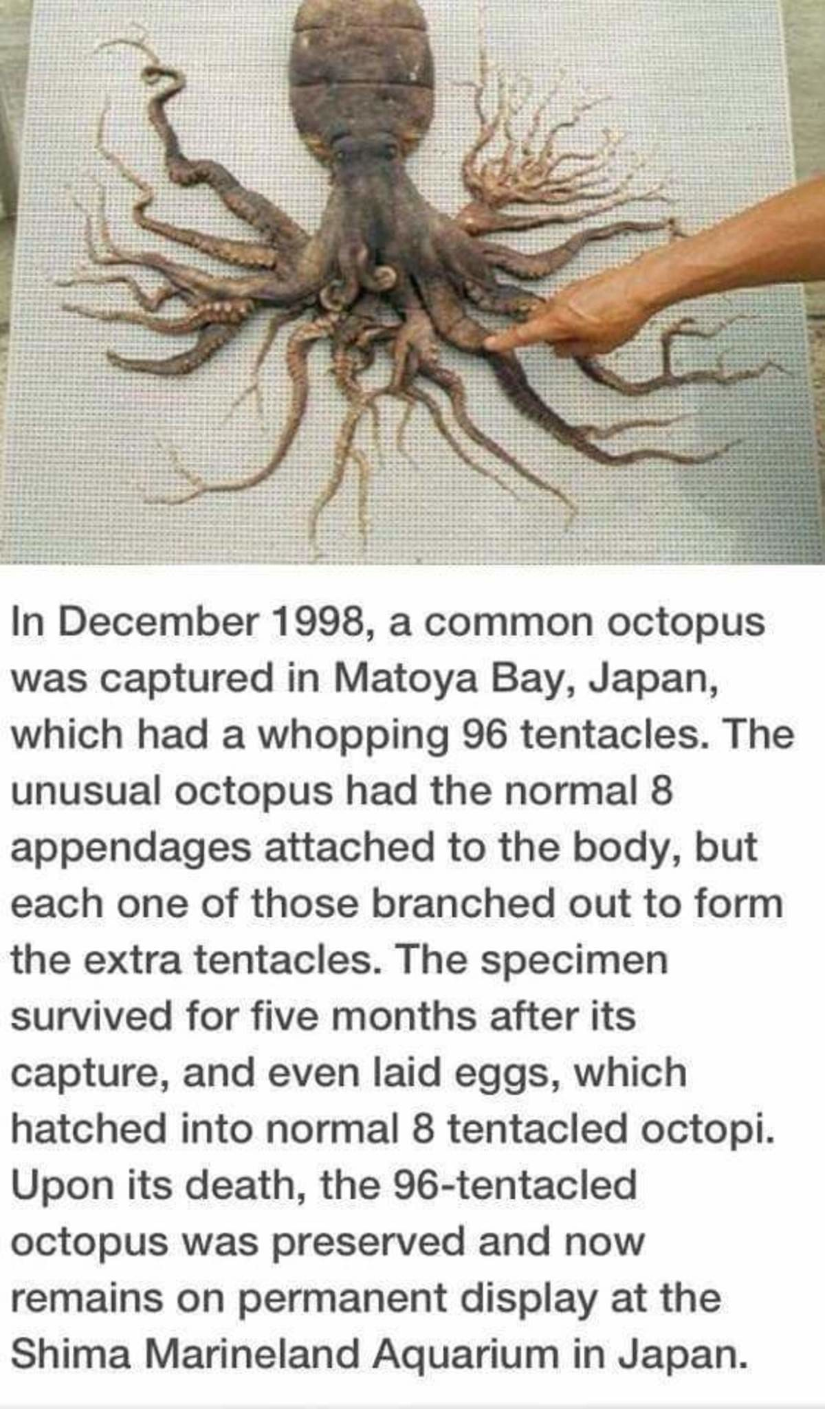 Octopus. . tyt In December 1998, a common octopus was captured in Latoya Bay, Japan, which had a whopping 96 tentacles. The unusual octopus had the normal 8 app