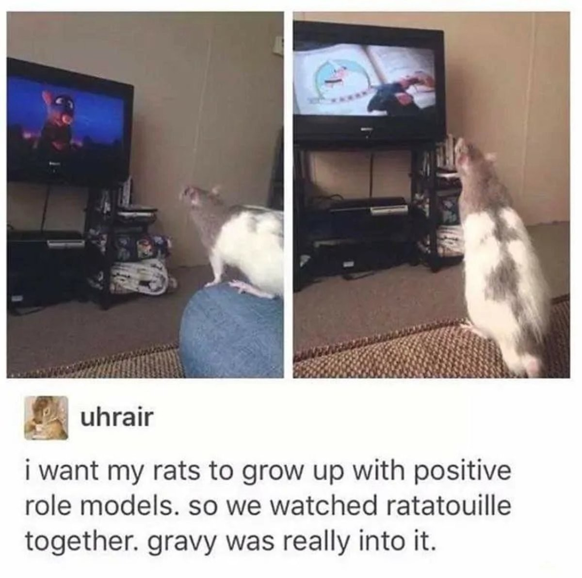 Ratatouille 🐀. .. I hate rats because they live for such a short time... I miss my boy