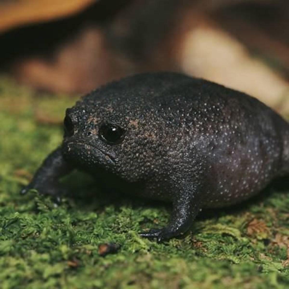 sad froggy. .. Desert rain frog, they look like mold and sound like deflating balloons .