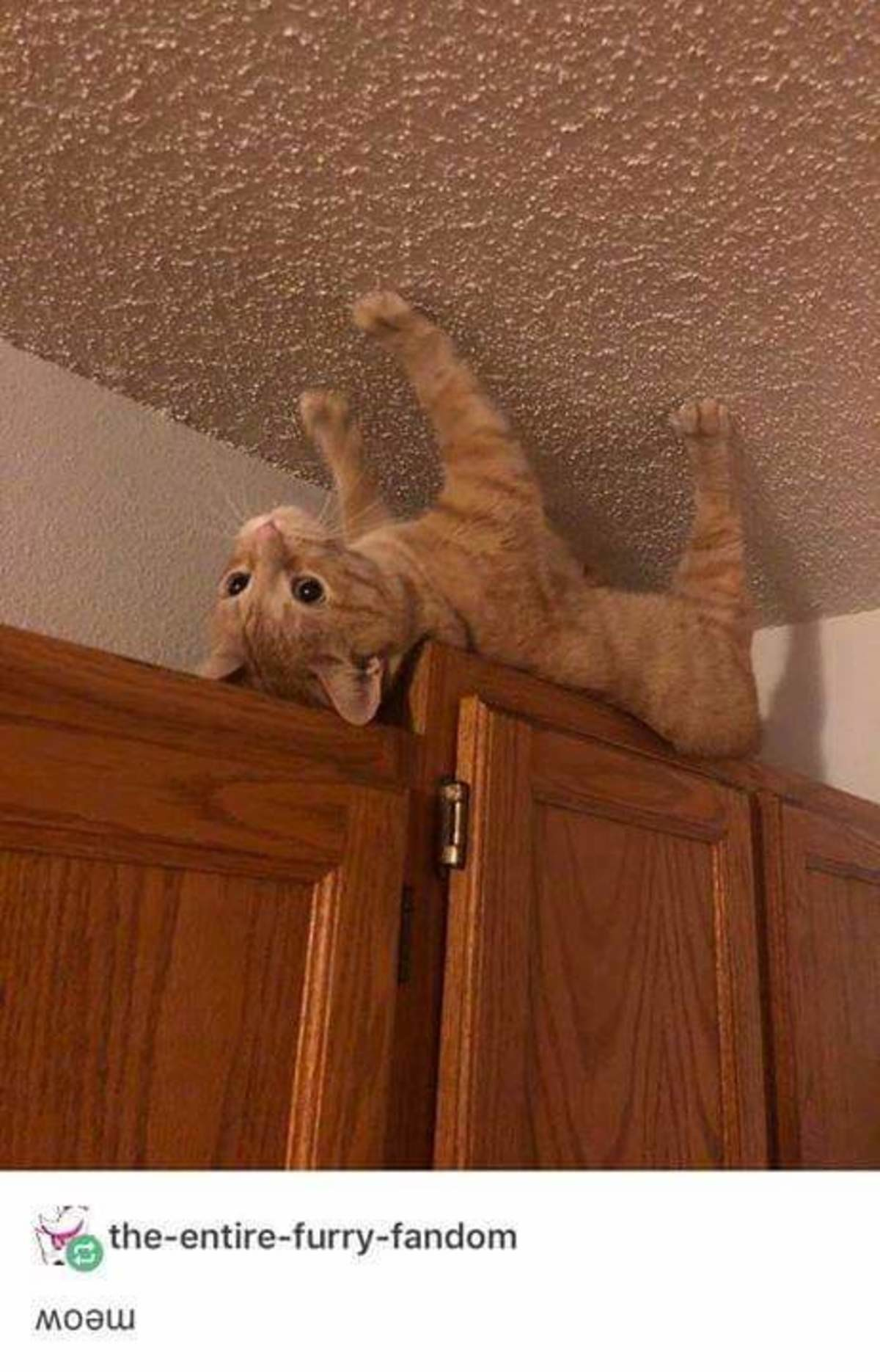 spider cat. .. When you accidentally buy an Australian cat.