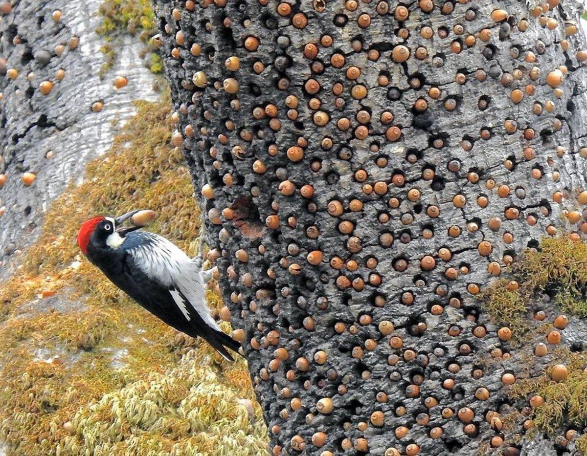 Woodpecker cause trypophobia. .. I've seen too many botfly removals to be phased by this birds tomfoolery