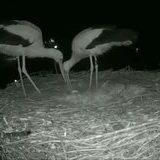 Storks first egg