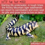 Shin Salamander
