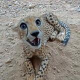Adorable female cheetah.