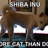 Shiba inus are pretty cool